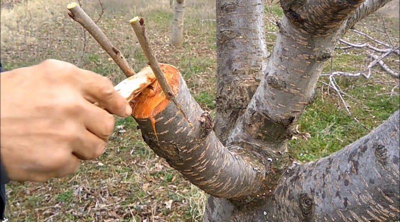 Ağaçlar Ne Zaman Aşılanır?